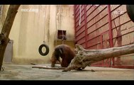 Orangutans and Chimpanzee - Primates In the City, #03, 오랑우탄과 침팬지