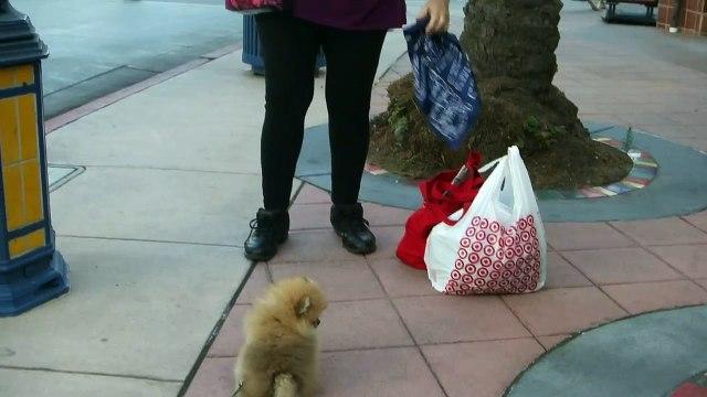 George Meets BOO!! My little Orange Sable Pomeranian Puppy
