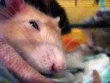 Super süße Ratte schläft, knuspert und glubscht ;) - super cute rat sleeping, munching and bulging ;)
