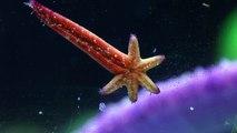 Reef Aquarium Starfish