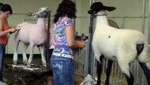 Sheep shearing, shearing or clipping !