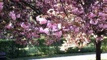 Roses et blancs les cerisiers de Sceaux