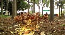 HDL Tu basura vale un huevo: gallinas se alimentan de restos orgánicos en una granja urbana