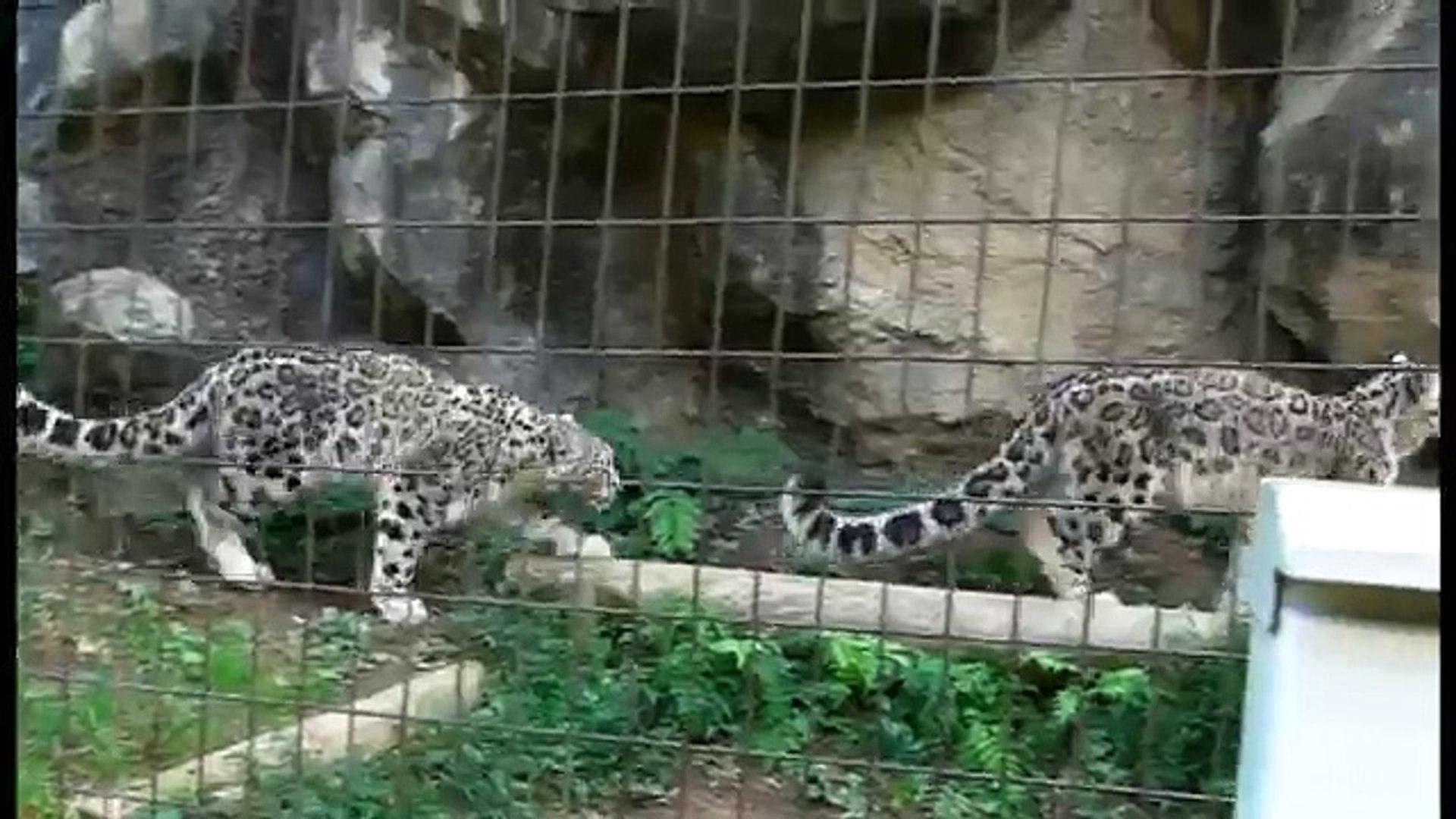 麻袋で遊ぶユキヒョウっ仔三兄妹Snow leopard cubs play with Jute bags
