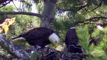Bald Eagle Nesting Feeding Young Eaglets !