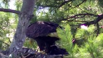 MUST SEE Bald Eagle Feeding Nesting Young Eaglets !