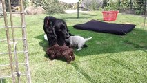 Spanish Water Dog Puppies 2013 - First Day Out