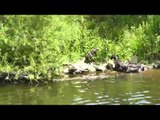 HUNTING DOG BENNY and the other three wild hunting dogs