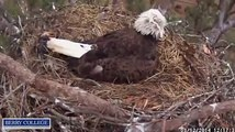 Berry College Eagles March 12, 2014  Intruder at the nest