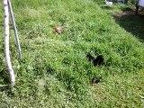 poule Java et poule Hollandskriel avec leurs poussins