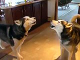 Singing Huskies