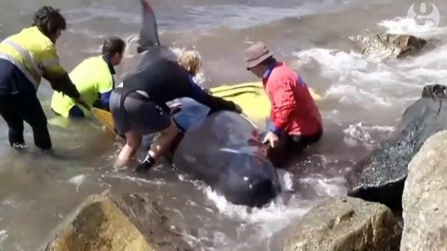 Pilot whales stranded along coast of Western Australia – video