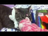 Funny Cats Video Compilation !! Funny Cats Compilation Funny Cat Videos Ever Funny