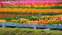 Tulips Festival 千葉・佐倉チューリップフェスタ Tulip & Windmill 花の名所案内