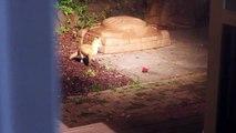 Des bébés renards jouent avec une balle de tennis!