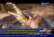 Video Macan Memangsa Buaya (Macan Vs Buaya)