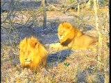 Djuma WildEarth Cam, Two Male Lions