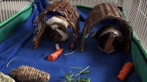 20 Fun and Helpful Facts About Guinea Pigs