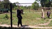 Bear Enjoys walking on Two Feet like Humans