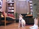 Funny Dog Trick: Ninja Jack Russell Terrier Karate Kicks a Book   drsophiayin.com