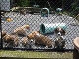 Corgi Puppies at Heronsway Corgis
