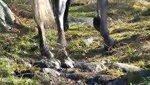 Chevaux pieds nus biomecanique locomotion équine. parage naturel. barefoot.