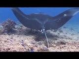 raie manta ray clin d'oeil noumea Nouvelle-Caledonie Nouméa