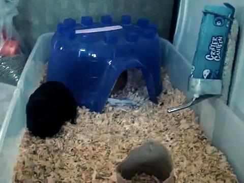 Guinea Pigs Rumble
