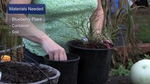 Gardening Tips : How to Root Blueberry Plants From Cuttings