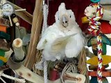 Goffin cockatoo preening