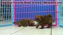 havashire Puppies For Sale in Atlanta, Georgia,GA, Macon, Savannah, Augusta, Valdosta