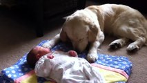 Golden retriever puppy: Amazing footage - golden retriever puppies great with babies and children