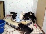 Siberian Husky Puppies 4 weeks - Playtime