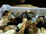 poussins couveuse modavic maroc.benslimane