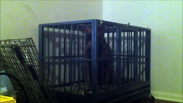 Pitbull Escapes From Steel Crate