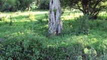 Un léopard grimpe dans un arbre avec un zèbre dans la gueule