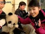 Cute Pandas playing at their home