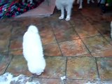 6 weeks old samoyed puppies of Samite Rocky Edelweiss