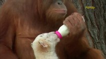 Orangutan Babysits Cute Tiger Cubs at Myrtle Beach Zoo