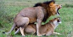 Dünya'nın En Vahşi Çiftleşen 10 Hayvanı