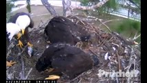 SW Florida Eagles 'Eaglets Make Unusual Gesture'  6.01 pm  _2.19.13_