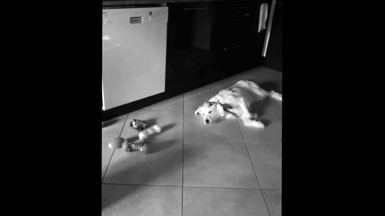 Amazing dog puts his toys
