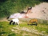 Passion Animaux : Le mouton d'Afrique, la chèvre et le lapin