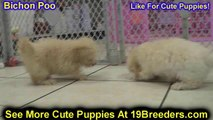Bichon Poo, Puppies For Sale, In Macon, Georgia, GA, 19Breeders, Athens,Augusta, Columbus