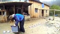 Husky-Video, Husky-Action with 17 Siberian Huskies
