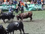 Combat de Reines (vaches de la race d'Hérens), 24 avril 2010, Orsières VS