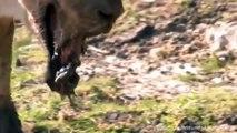 Leon vs Hipopotamo - Leona despues de pelear contra un Hipopotamo - Secuelas