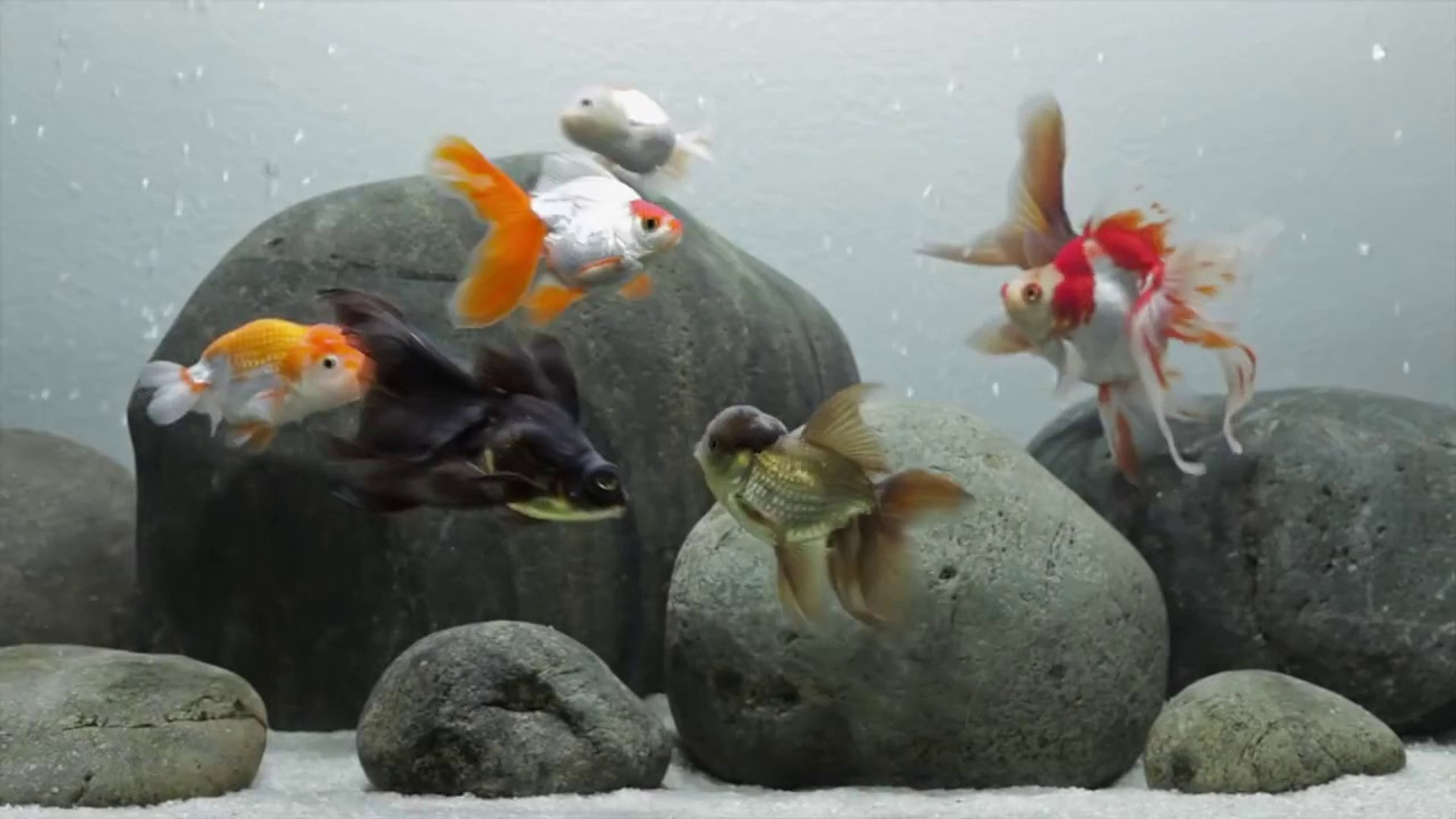 A Layout For Fancy Goldfish