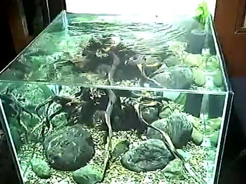 Sulawesi Shrimp Tank