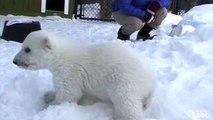 Toronto Zoo Polar Bear Cub Enjoys Playtime in his new Outdoor Habitat